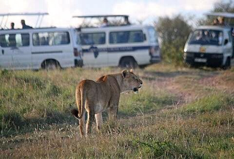 Lioness spotted during game drive