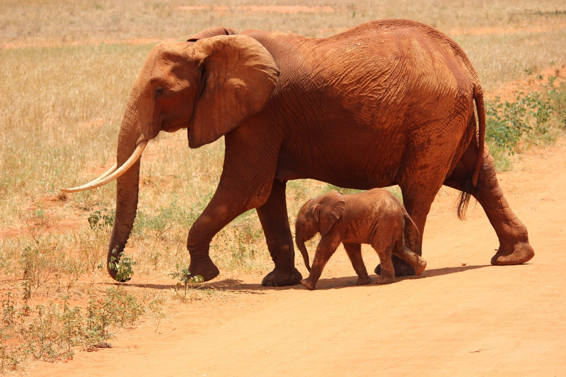 Baby elephant with its mother