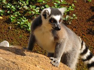 Meet the Indri