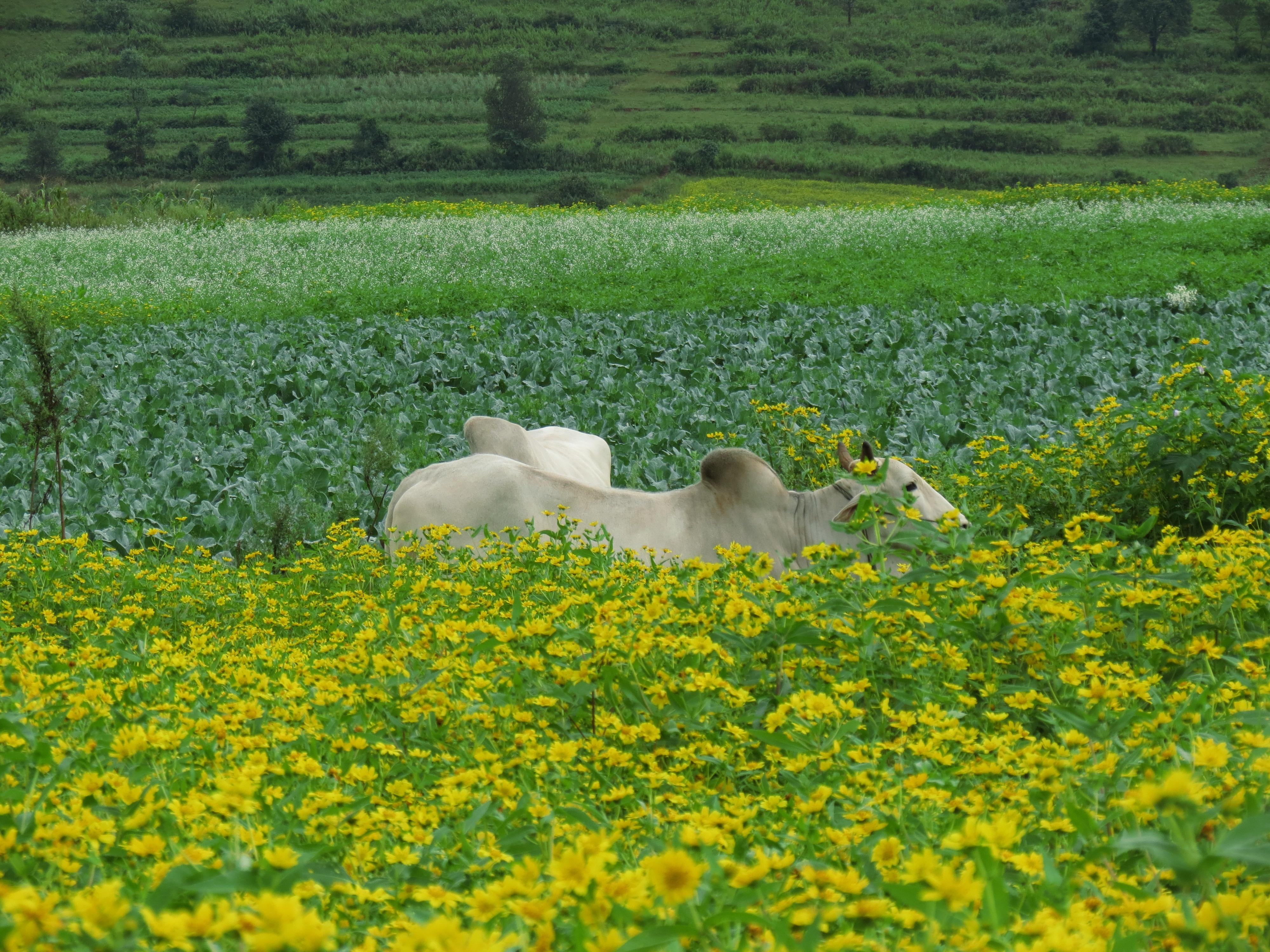 Cow roaming amidst greenery