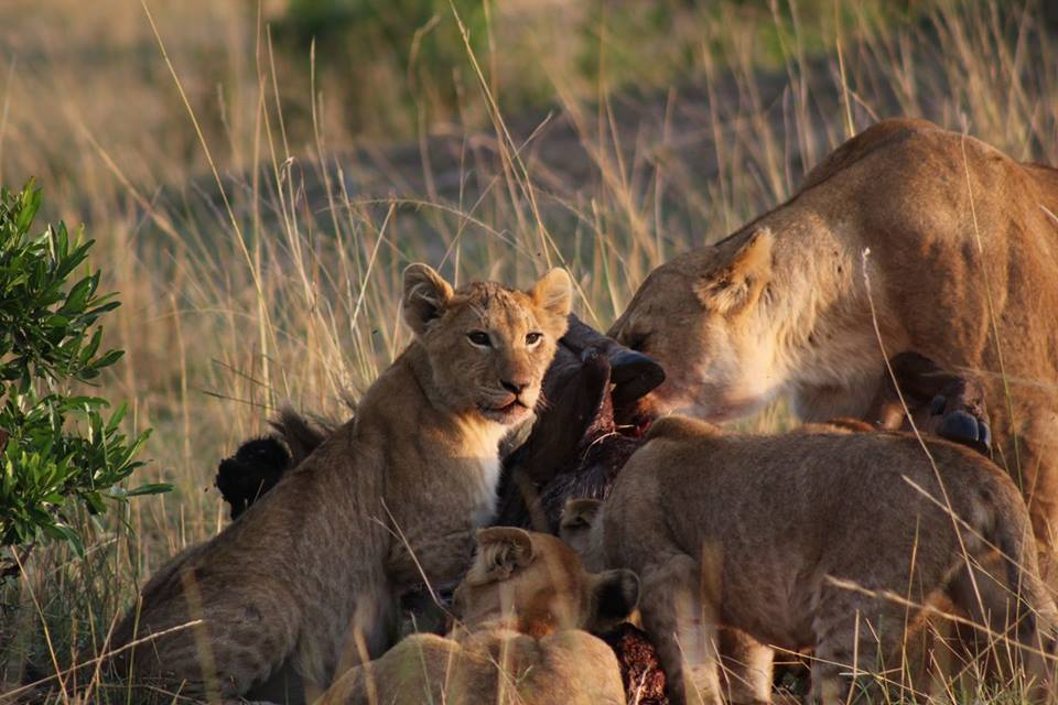 A Pride Of Lion Enjoying Their Kill