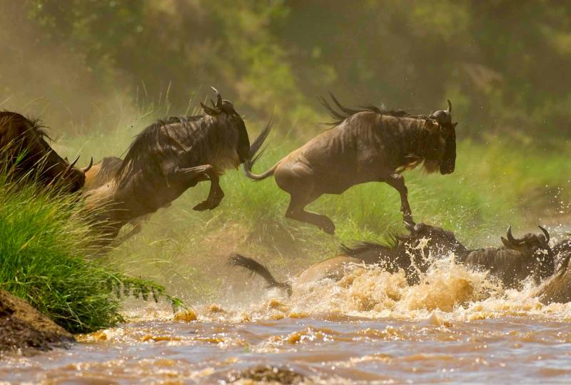 Wildebeests Migration At Masai Mara