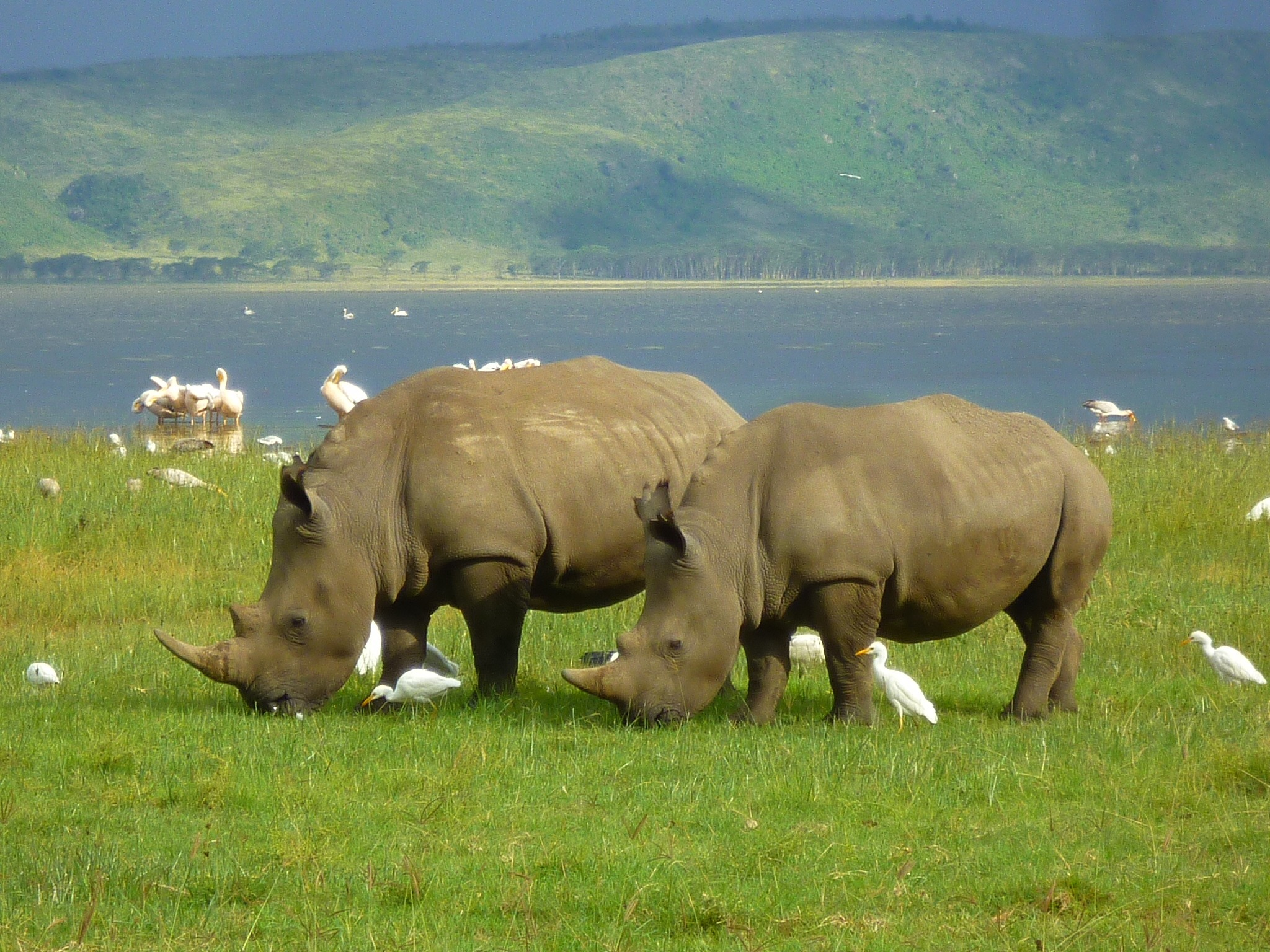 White Rhinos at Lake Nakuru National Park