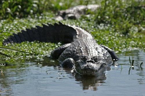 Alligators at the Amazon