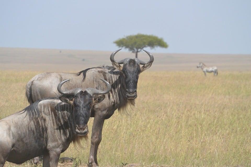 Wildebeest in Masai Mara