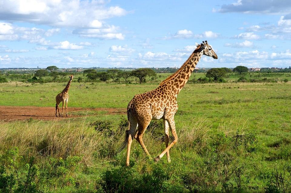 Samburu's giraffes