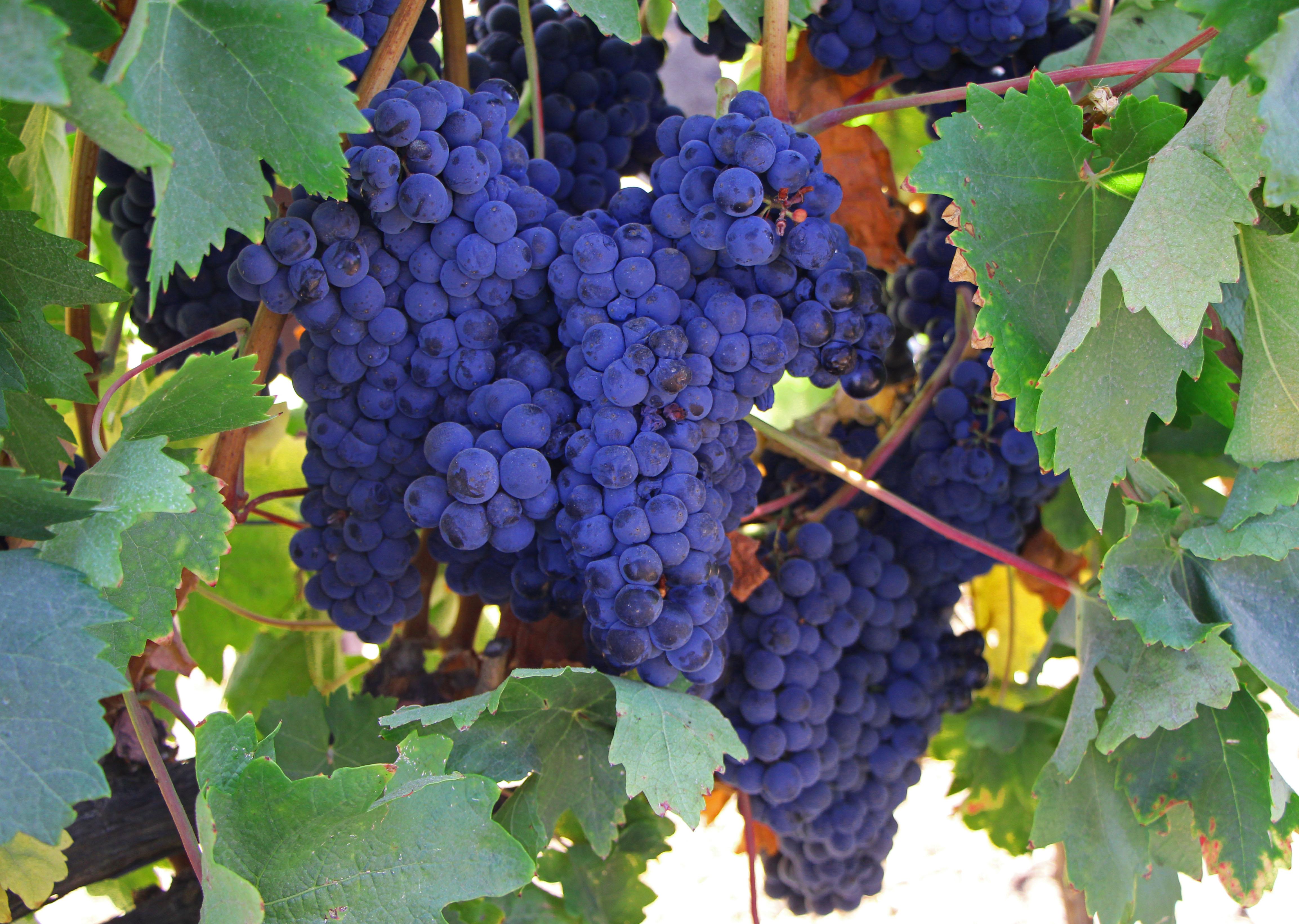 Grapes at the vineyard