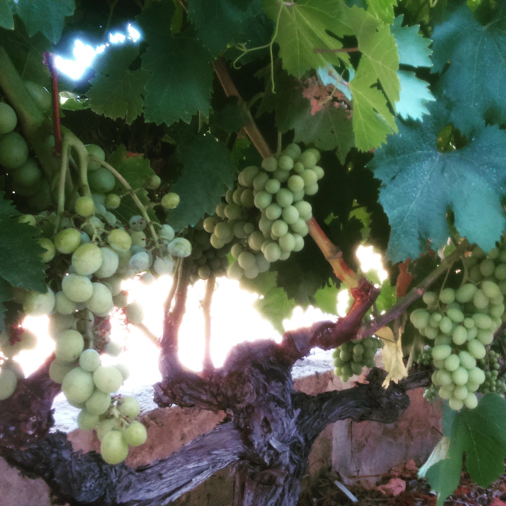 Vineyards of Mallorca