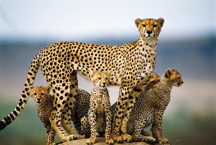 cheetah and cubs in Samburu
