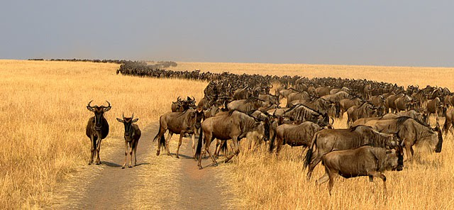 The Great Wildebeest Migration in the Masai Mara