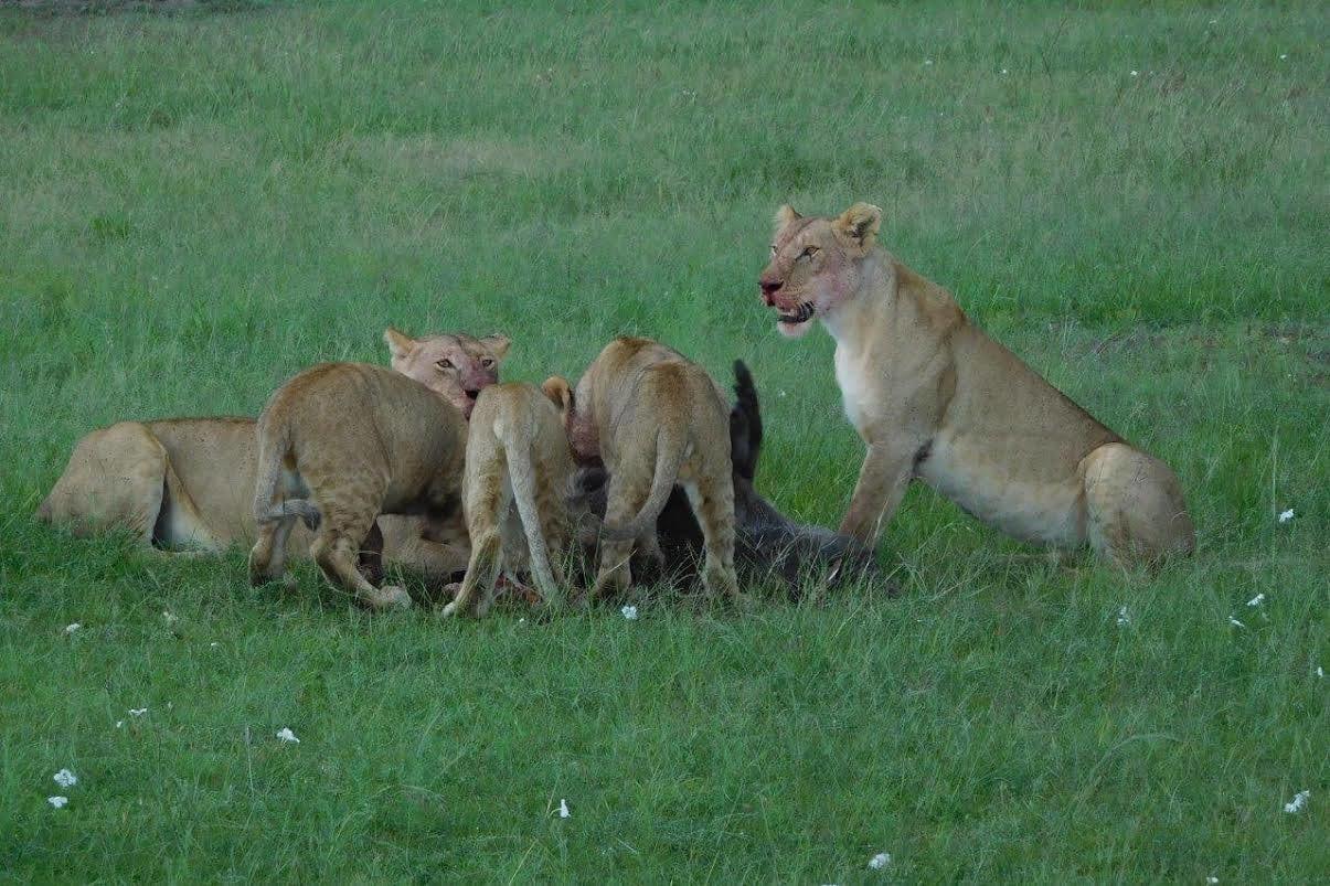 Lions at Masai Mara National Reserve
