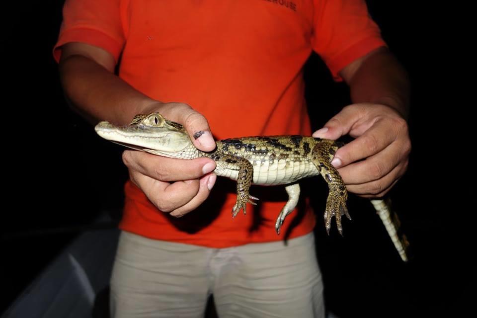 Catching Alligator At Amazon Rainforest