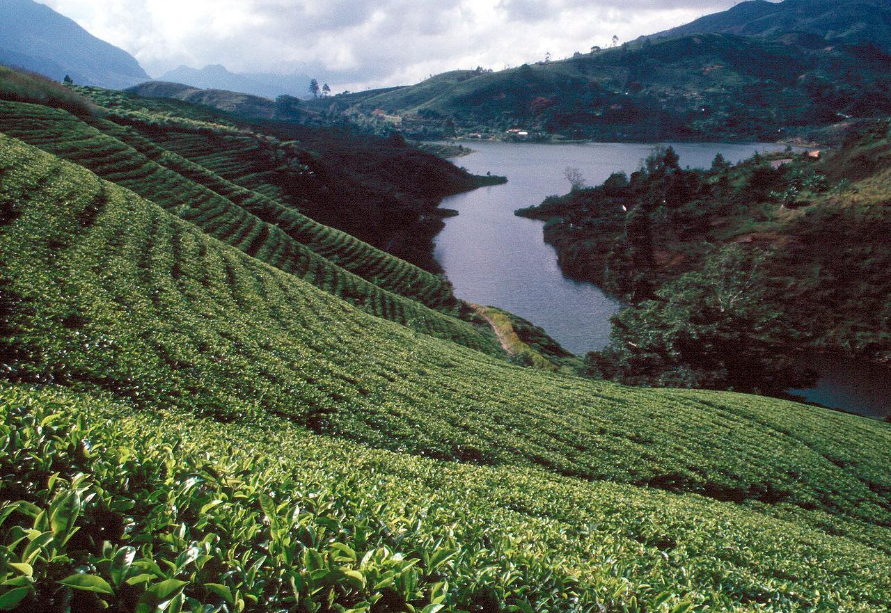 Be amazed by the elegance of Tea Fields