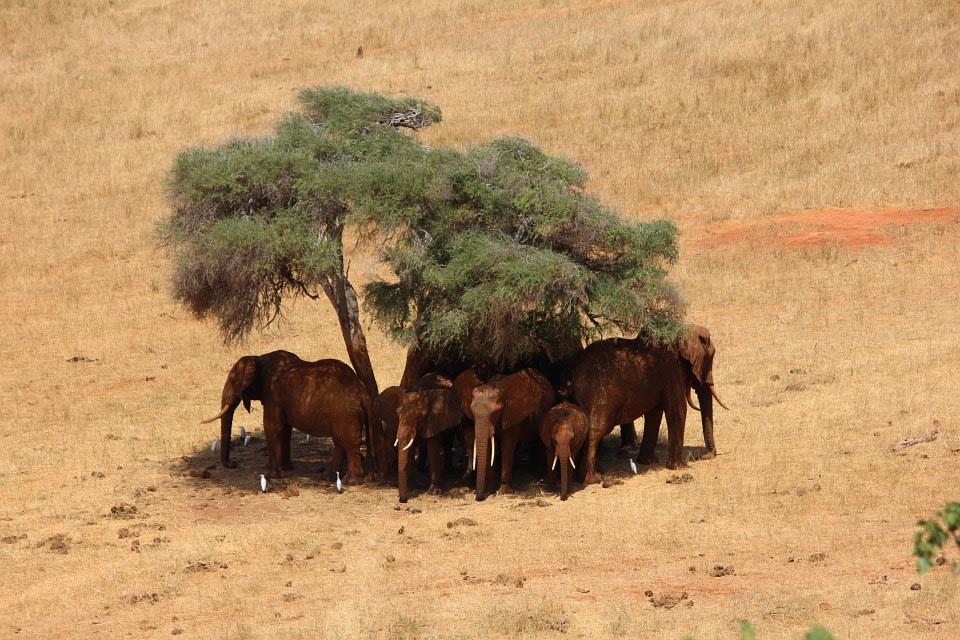 Herd of Elephants taking shade in Tsavo East National Park