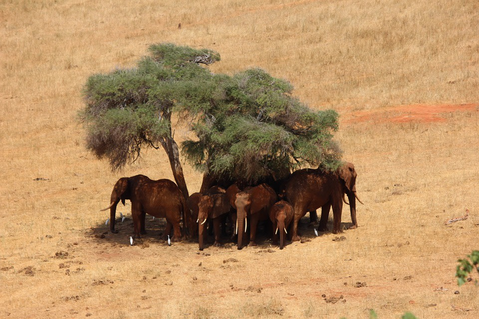 Herd of elephants taking shade