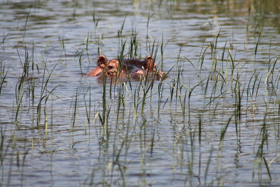 Hippo in Lake Awassa