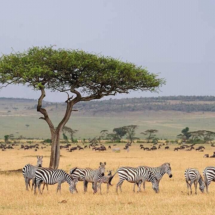 Zebras at Masai Mara National Park