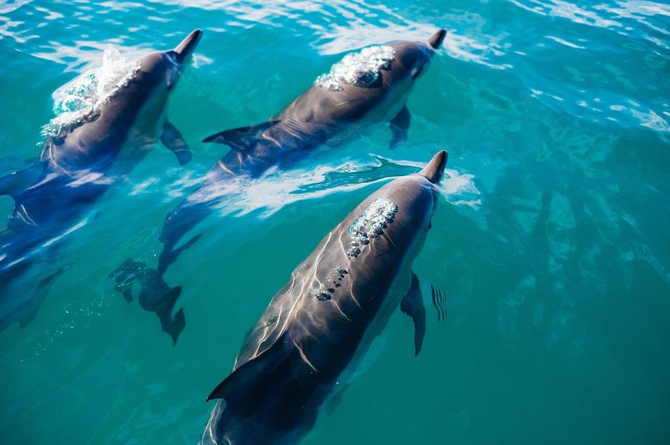 Dolphins At Malindi Marine Park, Kenya