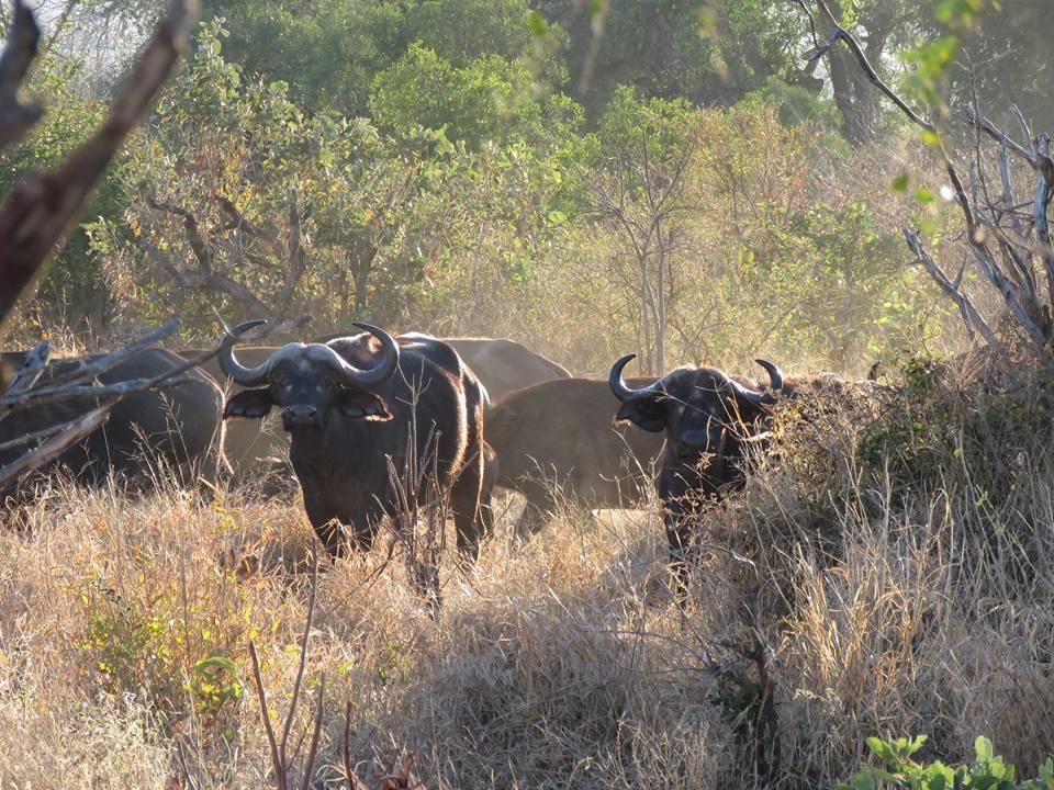 Buffalo herd at Masai Mara