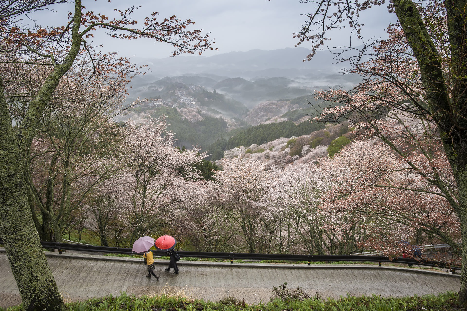 Cherry Blossoms galore in Nara