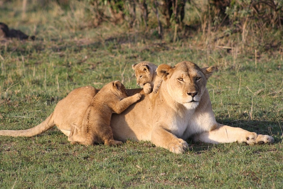 a lioness with her cubs