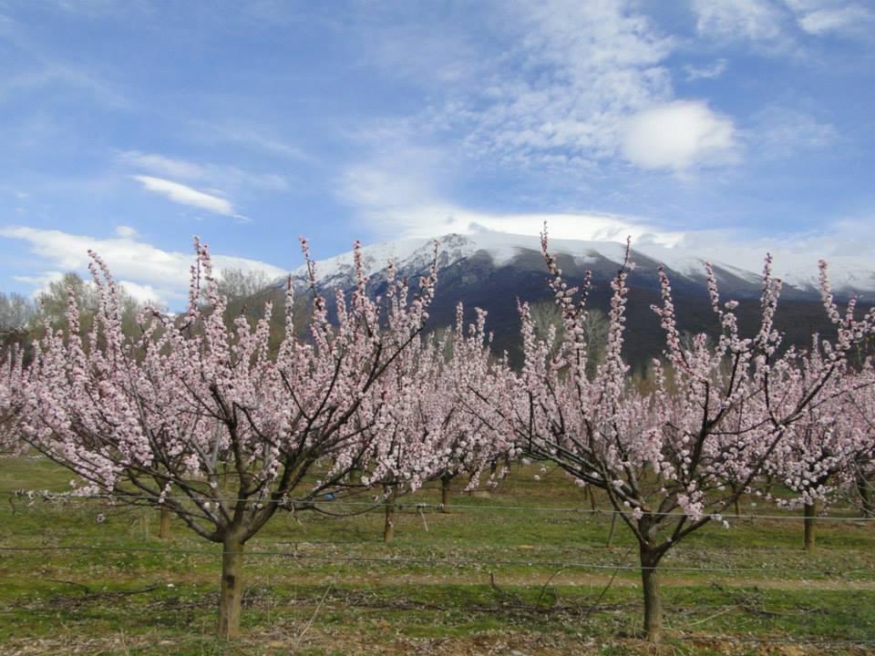 Peach in Spring in Macedonia