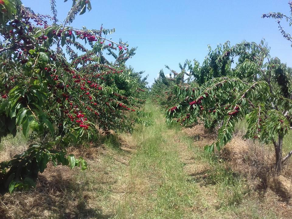 Cherries in Macedonia