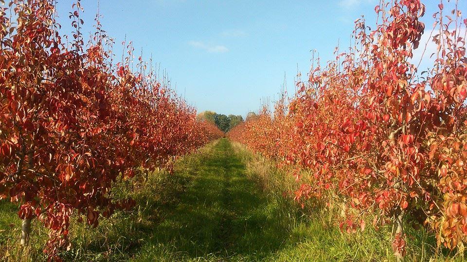 Autumn Pears in Macedonia