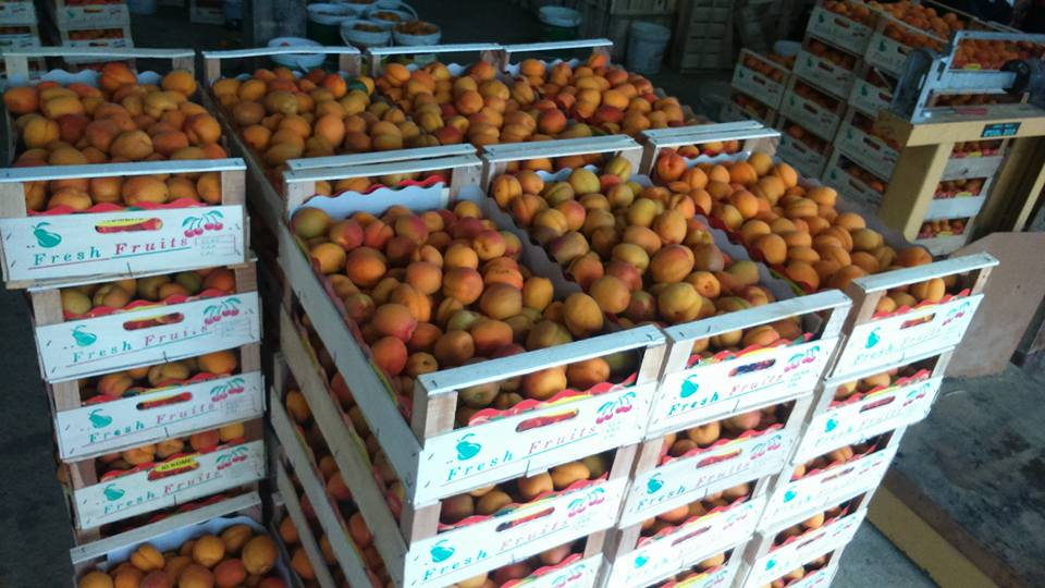 Apricots Ready for Sale in Macedonia