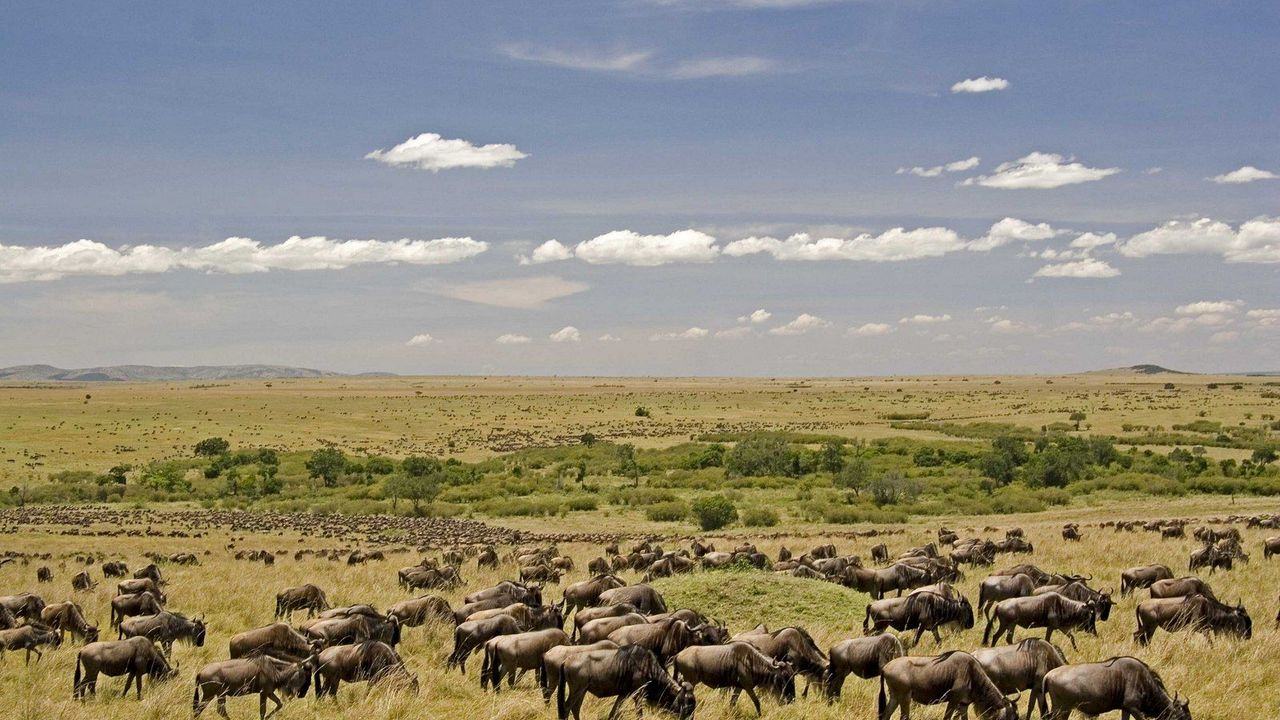 Witness the Gathering of wildebeests in Masai Mara National Reserve in Africa