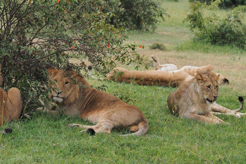 Lions at leisure in the Masai Mara National Reserve in Africa