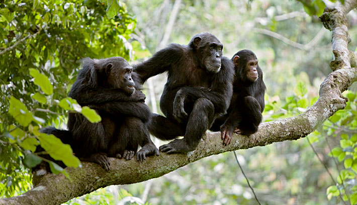 Spot the Wild Chimpanzees in Gombe