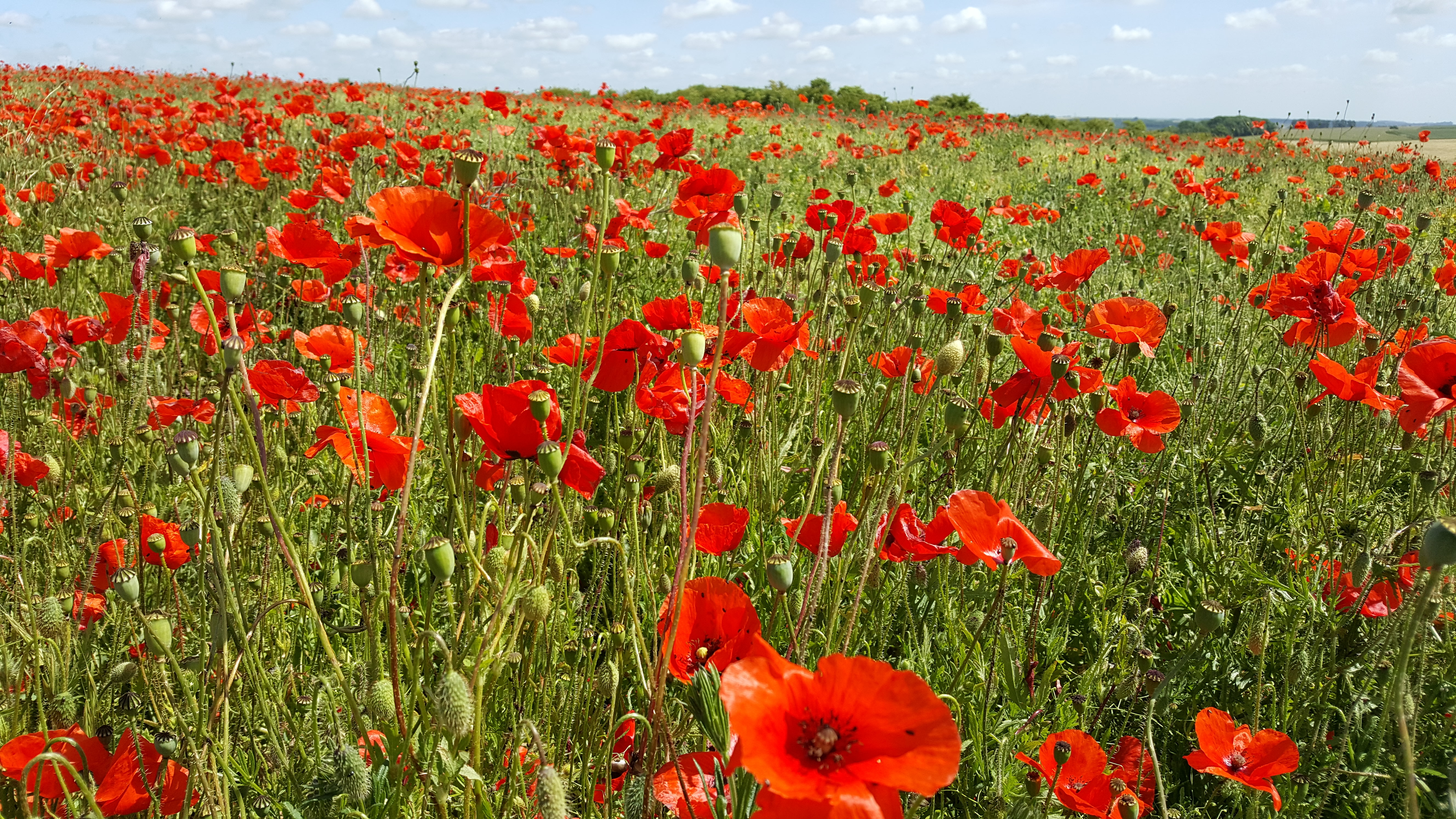 Le Hamel Poppies