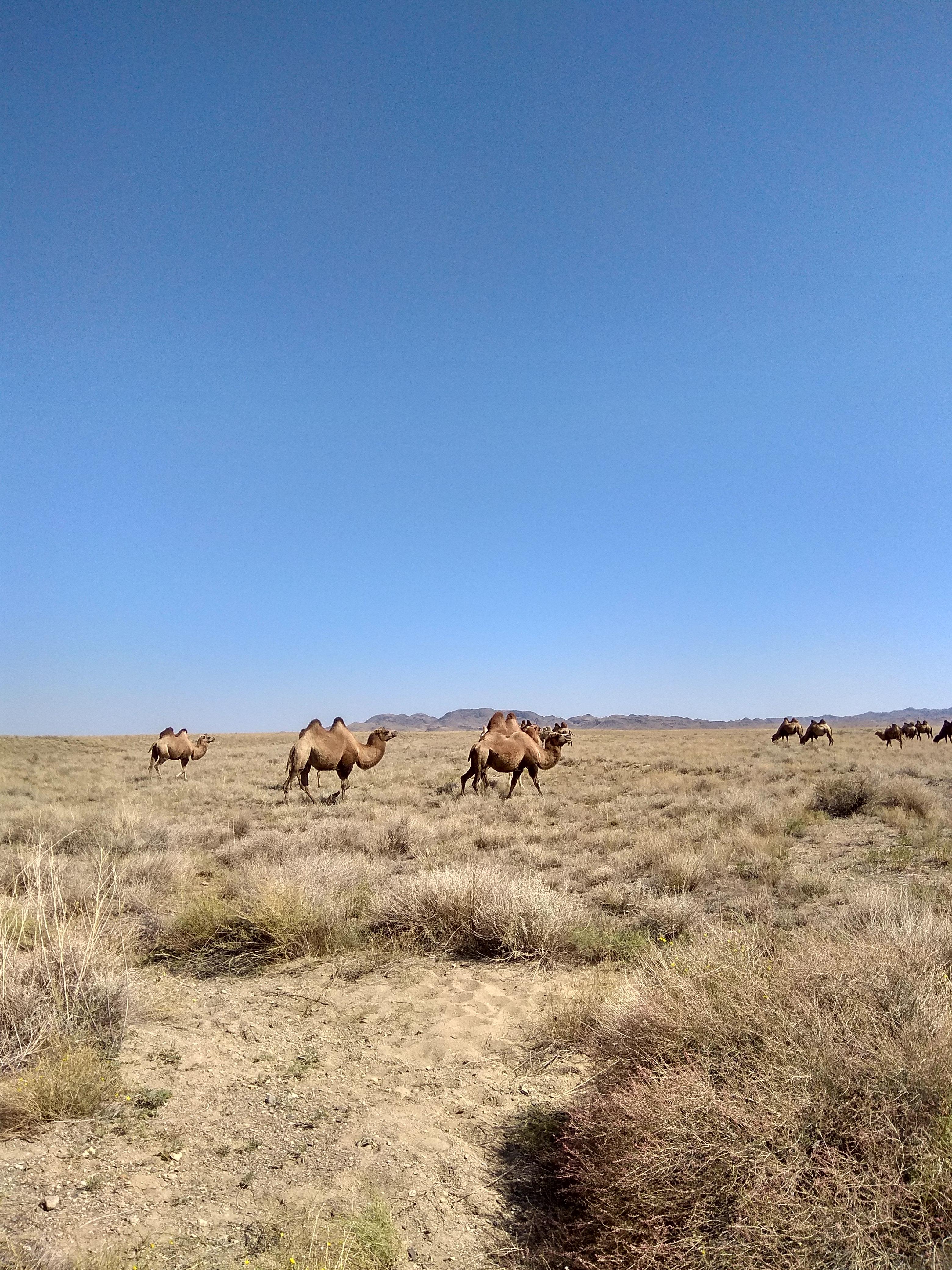 Camels in Altyn Emel National Park, Kazakhstan