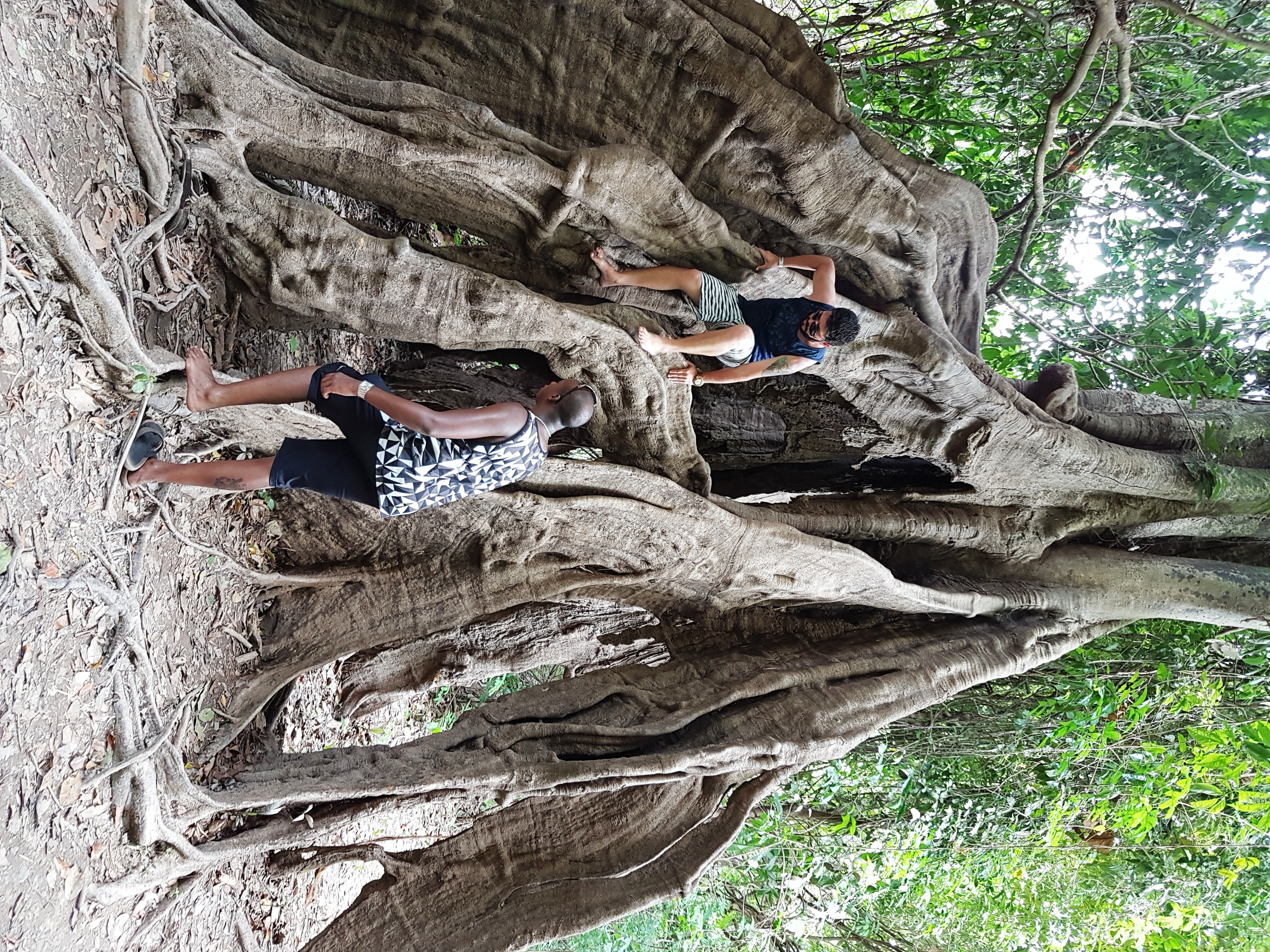 Tourists Climbing a Tree in the Jungle