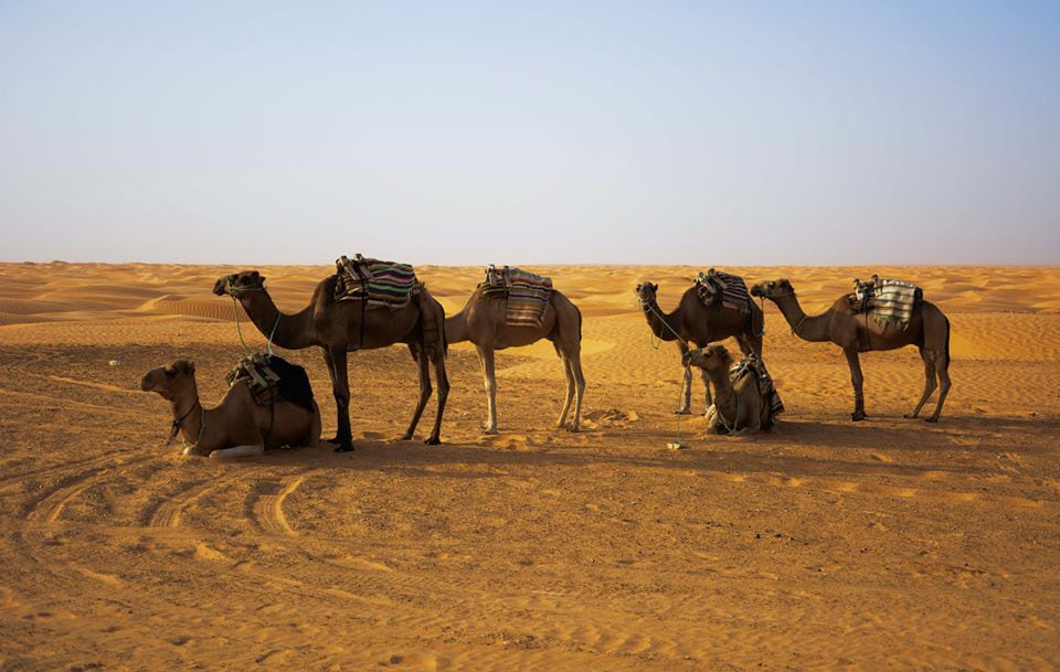 See Camels in the Tunisian Desert