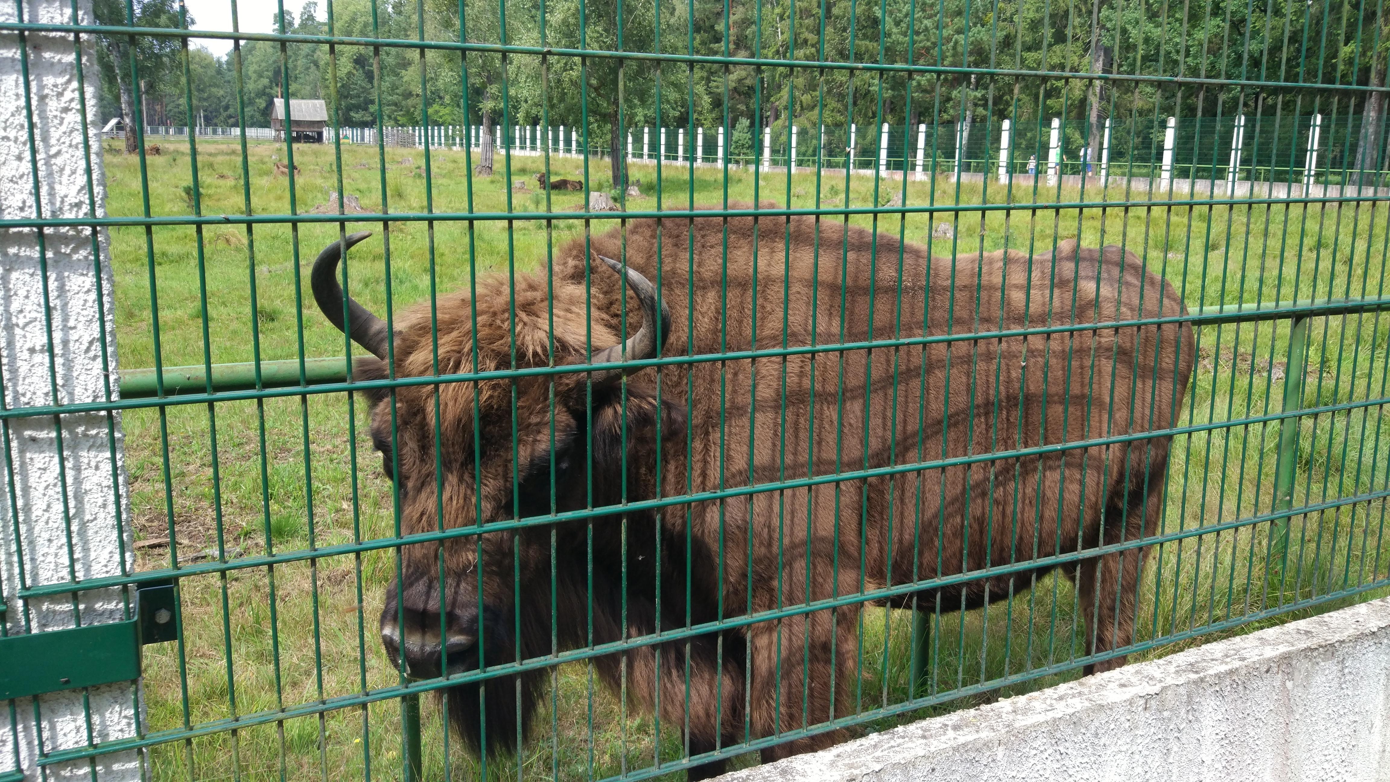 Spot European Bisons at Belovezhskaya Pushha
