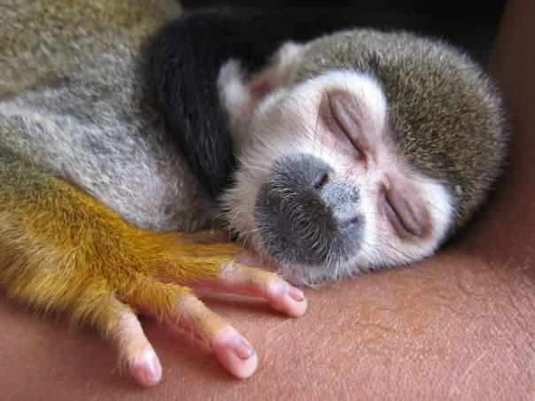 sleeping monkey, Samiria National Park