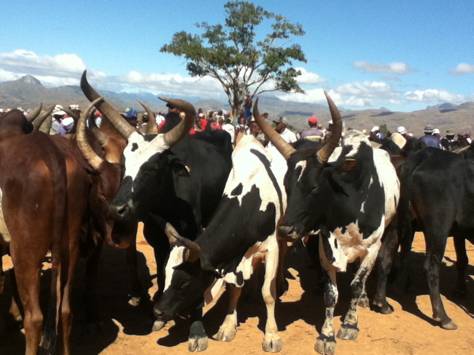 Cattle herded together
