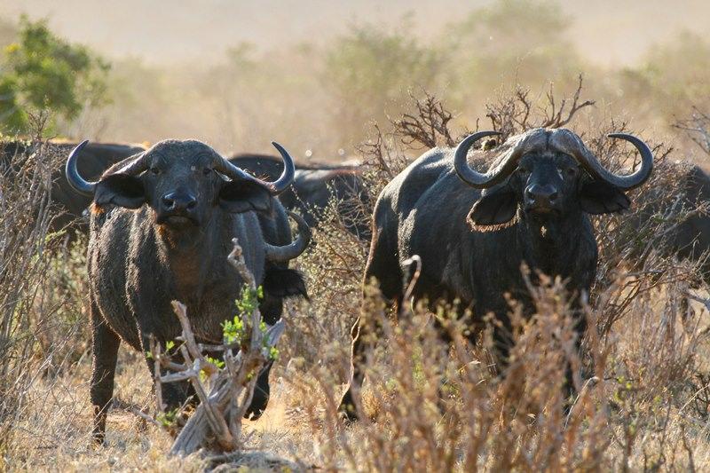 Wild Buffalos