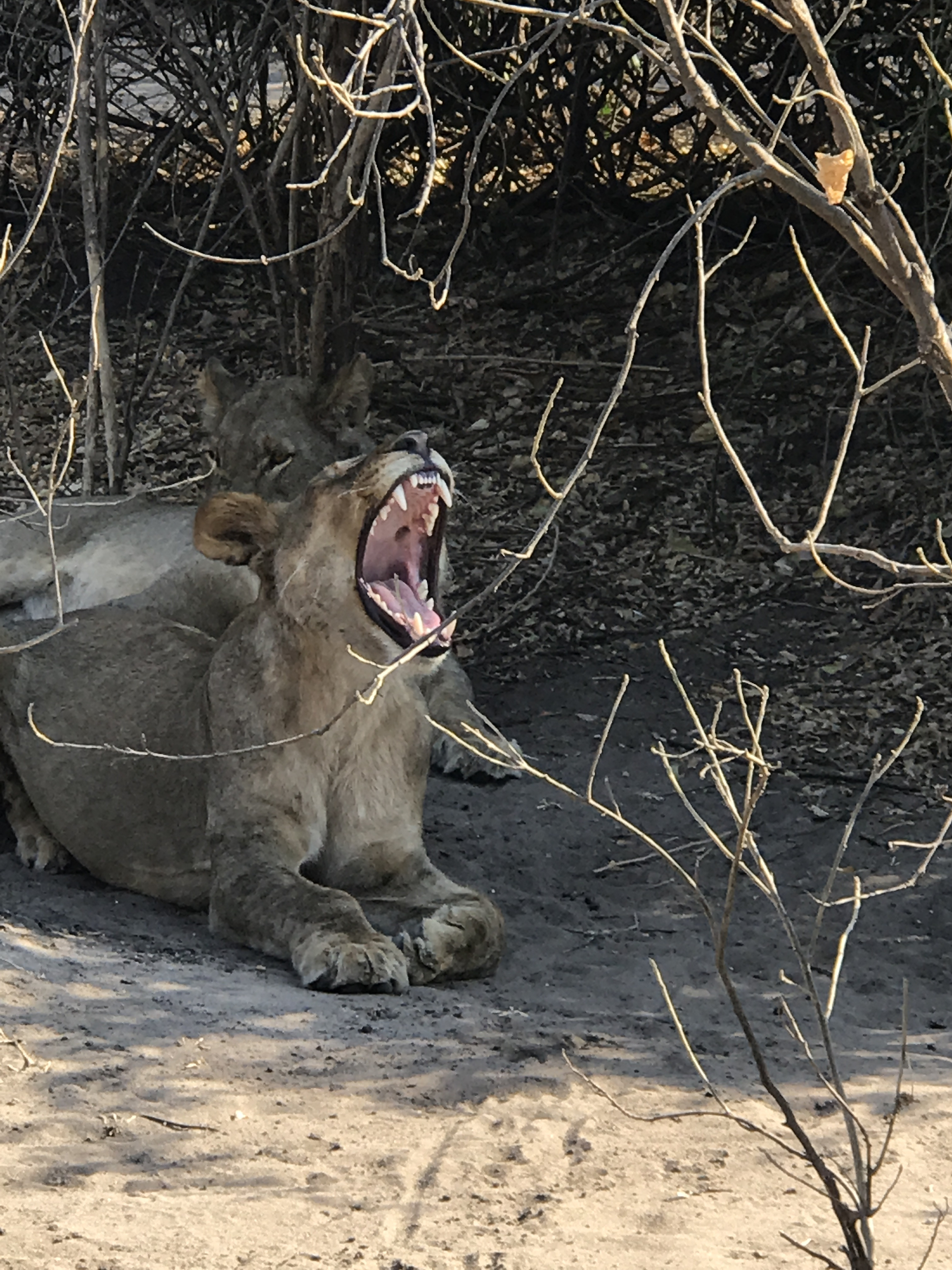 Lions of the Chobe