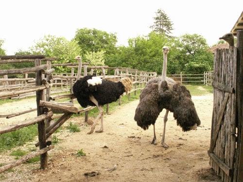 The Blue Ostrich Farm in Village of Brestnitsa