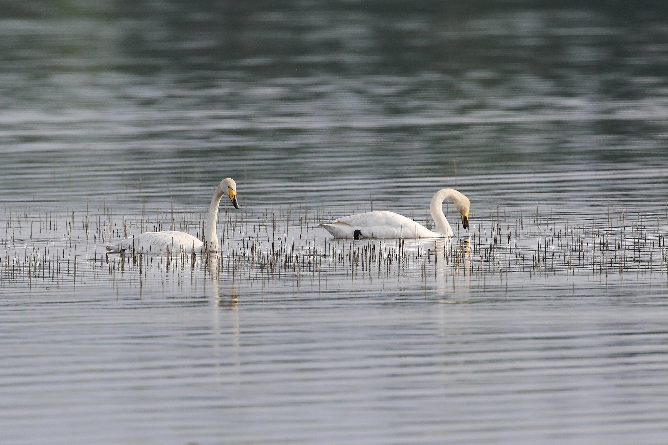 Swans Around Helsinki