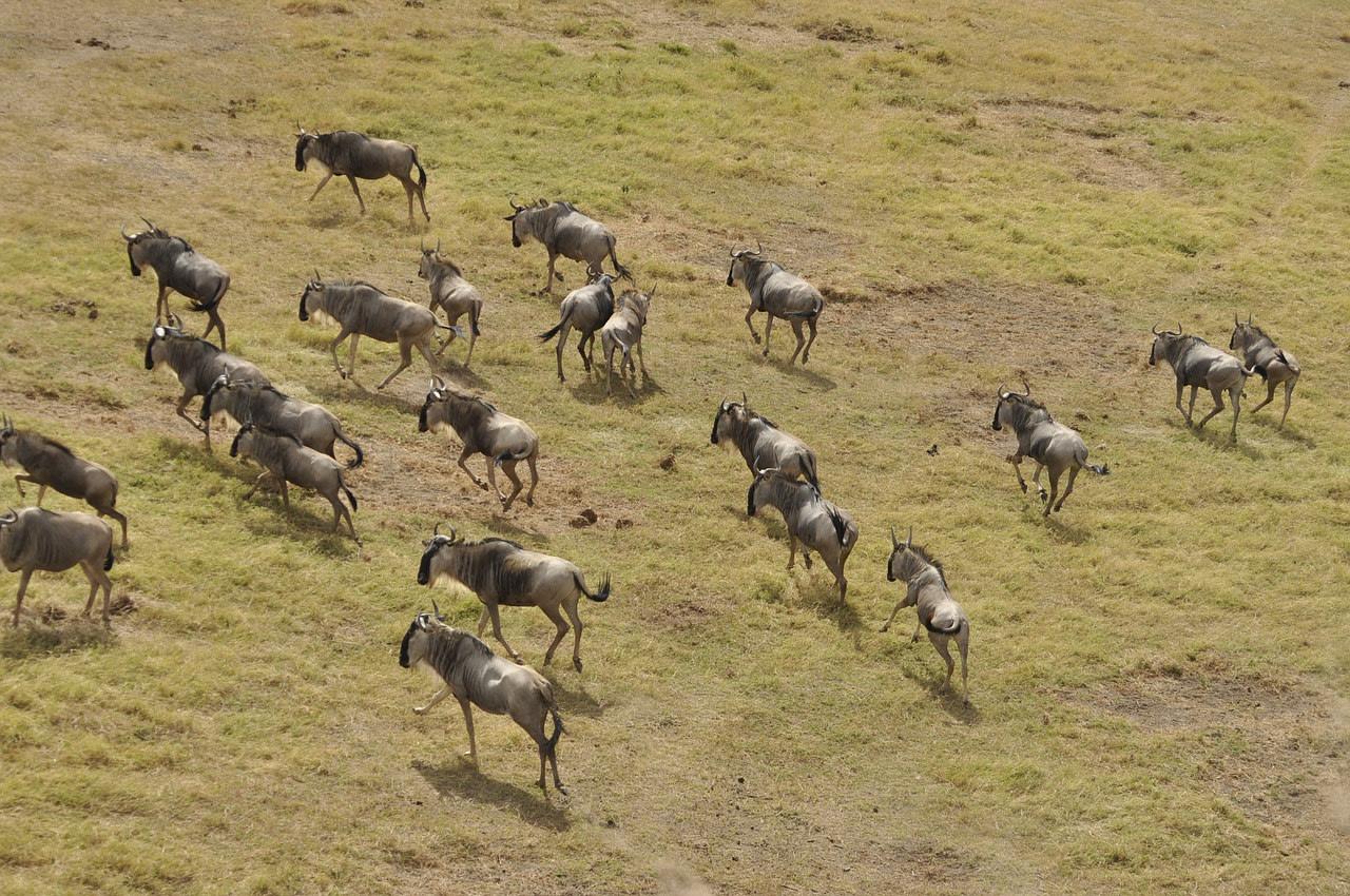 wildebeests migration in Masai Mara