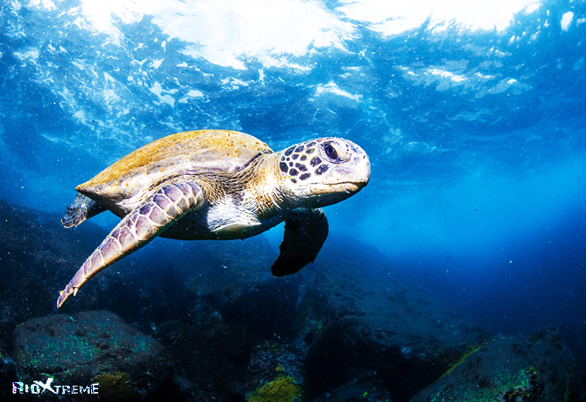 turtle swimming in the Atlantic Ocean
