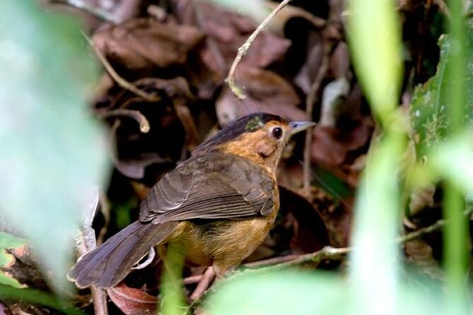 Nightingale in Sinharaja Forest Reserve