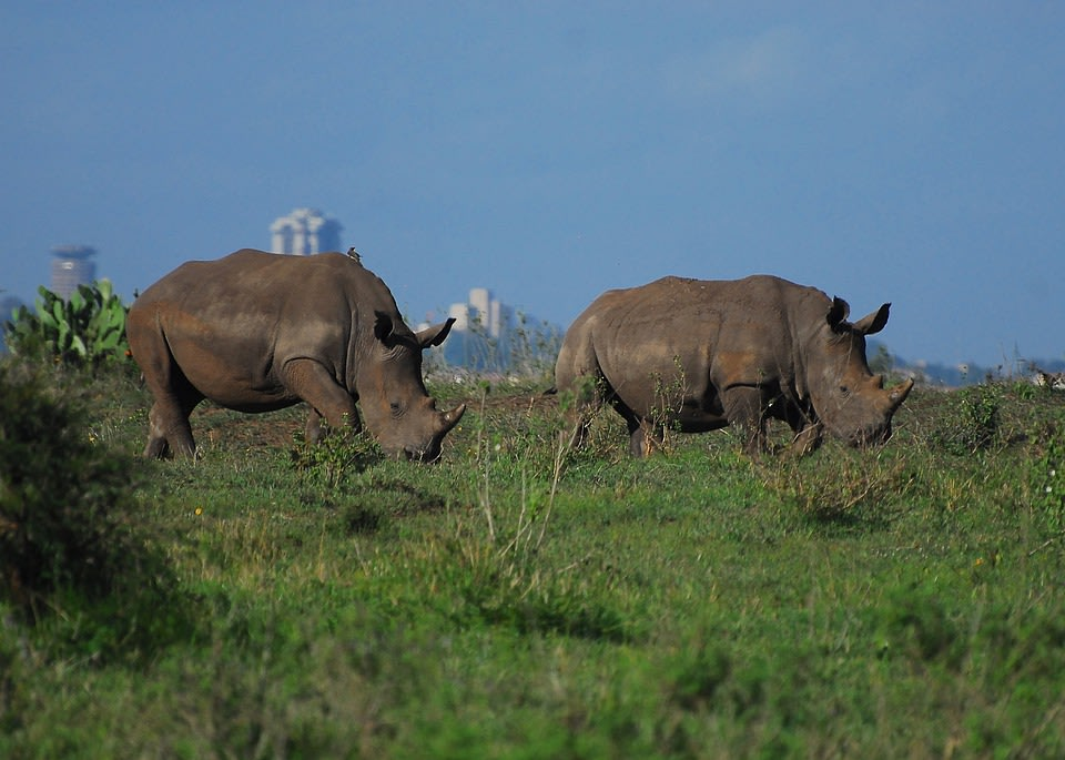 Rhinos of Nairobi National Park