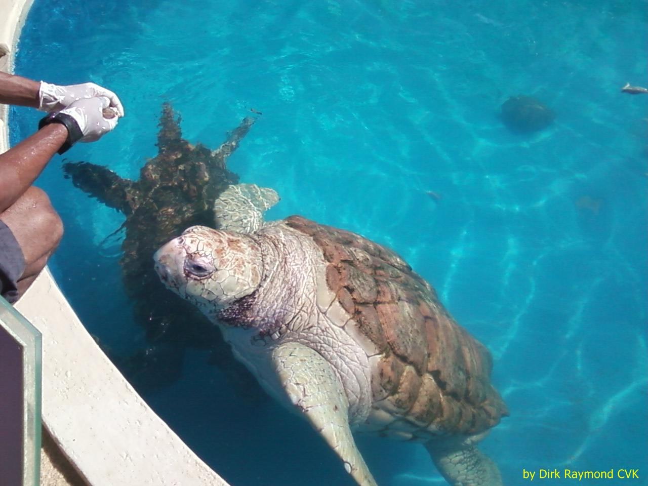 Tamar project: giant sea turtles