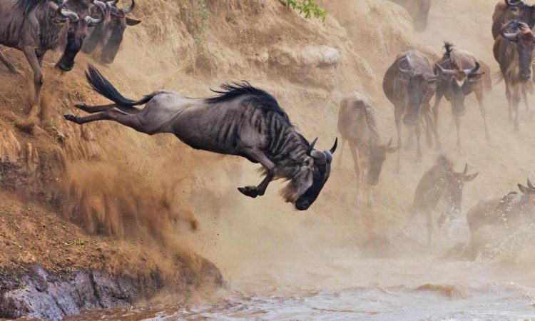 Wildbeest Migration at Masai Mara