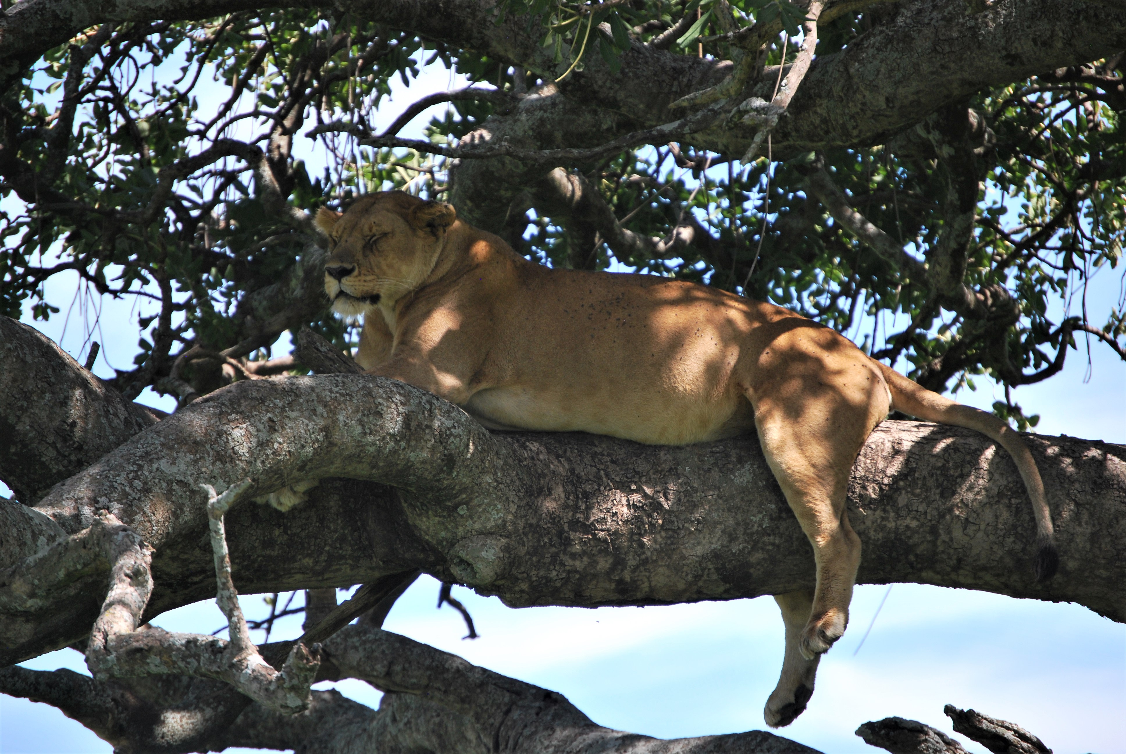 Lions atop at Serengeti
